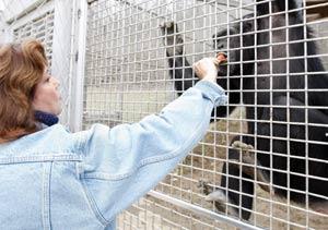 April Truitt alimenta a un chimpancé en el Centro de Rescate de Primates de Nicholasville, Kentucky (EEUU), Truitt, directora del Centro, advirtió de la peligrosidad de estos animales a la dueña del chimpancé, en Connecticut, que atacó gravemente a un amigo suyo. | AP