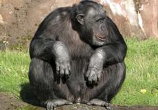 Santino, el chimpancé que lanza piedras. | Efe