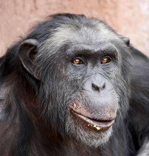 Santino, un chimpancé de 30 años, que tiene la costumbre de recoger piedras, seleccionarlas y pulirlas con toda calma para luego arrojarlas con premeditación. | EFE