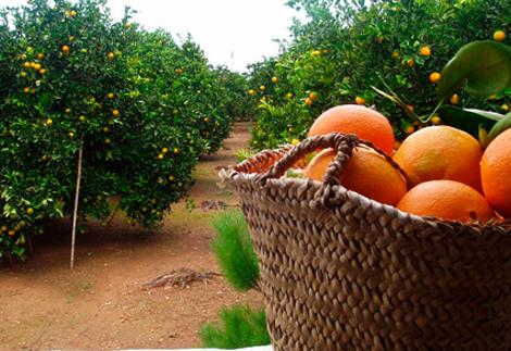 Entre los frutales a apadrinar están los naranjos.