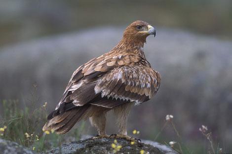 Un ejemplar de águila imperial. | SEO/Birdlife