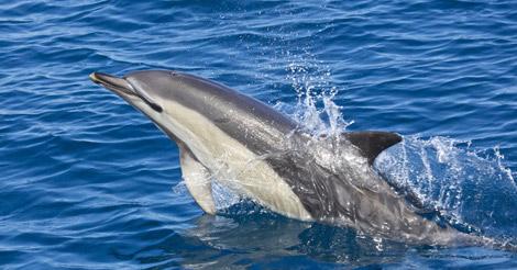 Delfín común en el mar Cantábrico. | Jesús Renedo.
