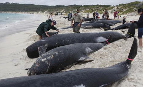 Varamiento de ballenas piloto en la costa oriental australiana el día 23 de marzo. (Foto: EFE)