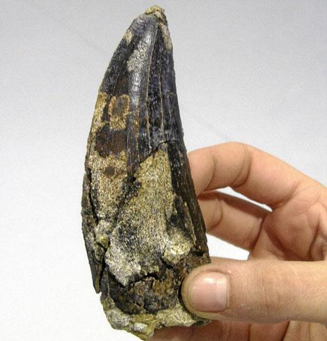 Diente de dinosaurio carnívoro hallado en Teruel. | Luis Alcalá / Dinópolis