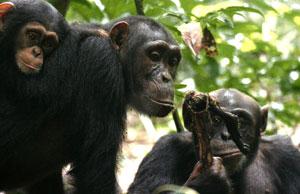 Un chimpancé macho le ofrece carne a una hembra en el Parque Tai de Costa de Marfil.   Efe