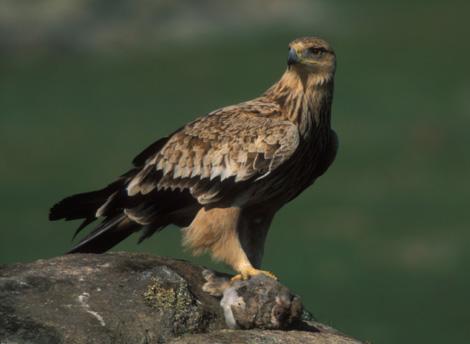 El águila imperial es una especie que ha estado al borde de la extinción. (Foto: J. M. SIMÓN)