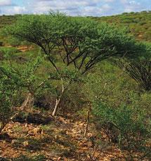 Un ejemplar de 'Acacia fumosa' en su habitat natural. | Science