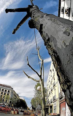 Uno de los arboles que ha sufrido una poda indiscriminada de sus ramas a causa de las obras en la calle Serrano. (Foto: Alberto di Lolli)