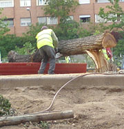 Retiran un árbol tronchado en Barceló. (I. Rodríguez)
