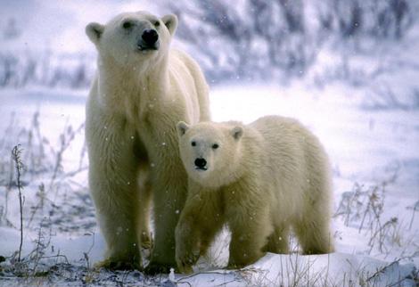 Una osa polar y su cría. | Reuters