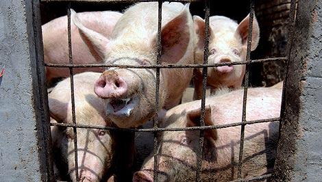 Cerdos en una granja en una zona rural de Qingdao (China). | Efe