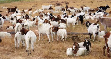 El rebaño de cabras que cuida el jardín de Google en Mountain View, California.   Dan Hoffman/Google