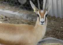 Una gacela dorcas.   Foto: CSIC