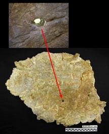Marcas de mordiscos en el ilion de Turiasaurus. | FCPT-Dinópolis