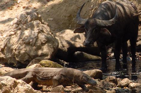 Un dragón de Komodo ante un búfalo, una de sus presas. | Chris Kegelman.