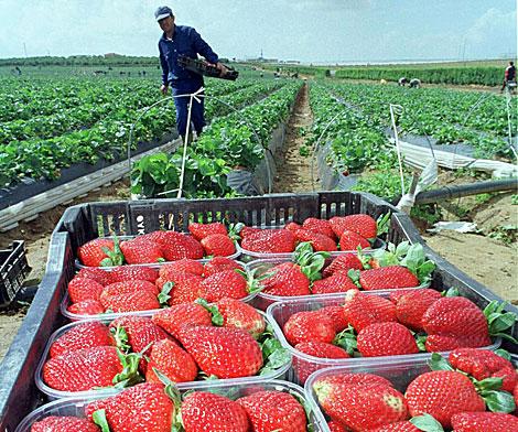Una explotación de fresas en Huelva. | El Mundo