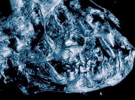 Cabeza del 'Darwinius masillae'. / Jens L. Franzen