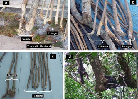 Diferentes herramientas fabricadas por los chimpancés para recoger miel. | Christophe Boesch
