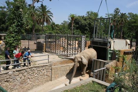 Yoyo, a su llegada al zoo de Barcelona.