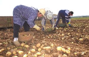 Trabajadores recolectan patatas en Sa Pobla | Pep Vicens