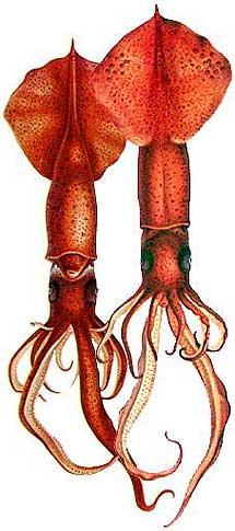 Dibujo de 1910 de un calamar.   Carl Chun