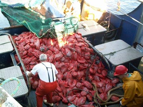 Pescadores neozelandeses descargan sus capturas de pez reloj anaranjado.   Jeremy Prince   UCSB