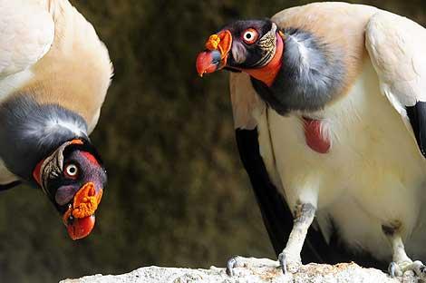 Una pareja de zopilotes, Sarcoramphus papu, una especie en peligro de extinción.   Efe