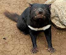 Un demonio de Tasmania, una especie en peligro de extinción.   KeresH