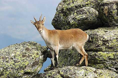 La cabra montesa es una de las especies más amenazadas.| Marga Esteabaranz.