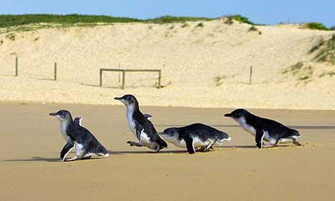 Pingüinos en una playa de Sydney.   Foto: Reuters.