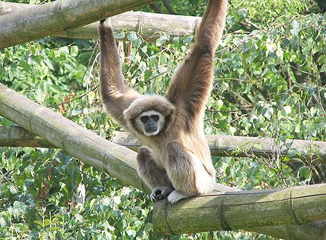 Un mono gibón de manos blancas en zoo de Berlín. | Matthias Trautsch