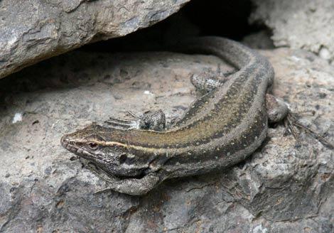 Un ejemplar de lagarto pequeño de Canarias, endémico de La Gomera y El Hierro. | Haplochromis