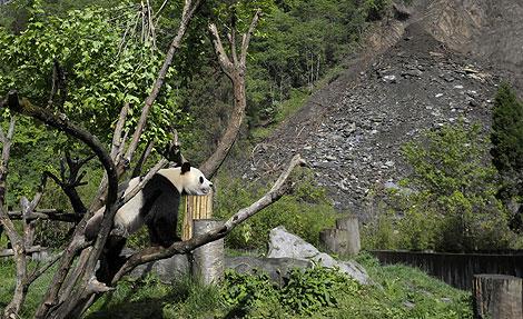 Un oso panda de una reserva en la provincia china de Sichuan y al fondo los restos de un corrimiento de tierras. | Ap