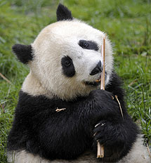 Un oso panda desgarra un palo en la reserva de Wolong, Sichuan. | Afp