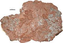 Varios ejemplares fosilizados de Suminia.   J. Fröbisch - Field Museum