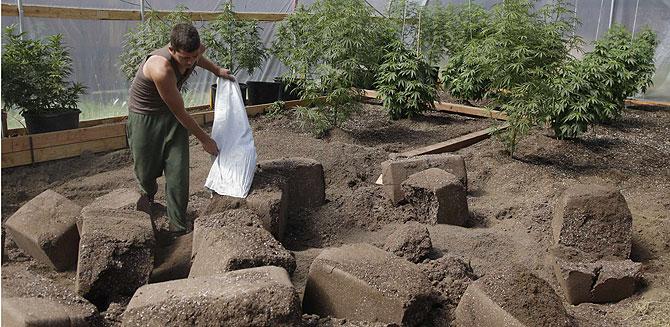 Un granjero echa fertilizante en una plantación de marihuana de California. | AP