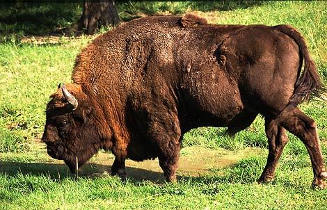 Un bisonte europeo en el bosque Bialowieza, Polonia. | Henryk Kotowski