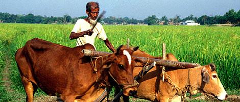 Un granjero indio en un campo de cultivo con su arado. | Miguel Ángel Gayo