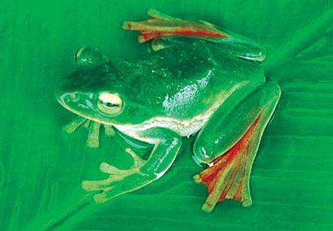 La pequeña rana 'voladora' Rhacophorus suffry. | Totul Bortamuli / WWF