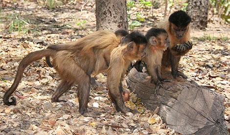 Varios monos capuchinos. | Elisabetta Visalberghi