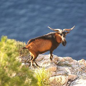 Cabra salvaje en Tramontana.   Pep Vicens.