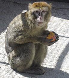 El primate entregado.   Efe