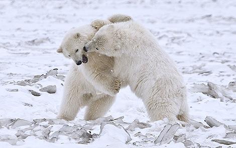 Cachorros de oso polar juegan en un Parque Nacional de Alaska.   Alan D. Wilson