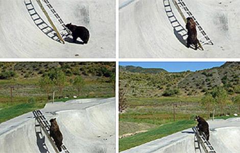 El oso durante su curiosa ascensión. | AP