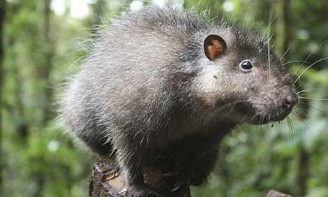 La rata lanuda de Bosavi. | Foto: BBC