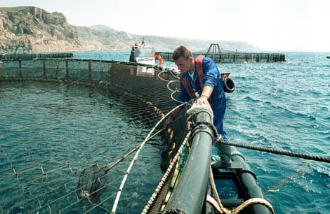 Un trabajador capturando una dorada en una piscifactoría. | E. Salas