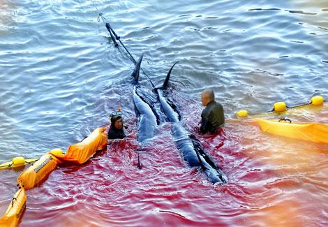 Matanza de ballenas en Taiji el pasado 10 de septiembre. | Robert Gilhooly