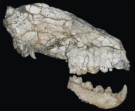 Craneo fosilizado de la hiena Hyaena brunnea.   IGME