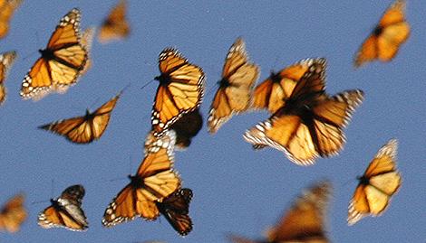 Mariposas monarca .   Monarch Watch/Chip Taylor