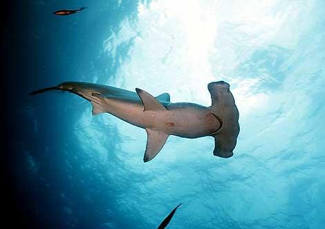 Un tiburón martillo. | El Mundo.